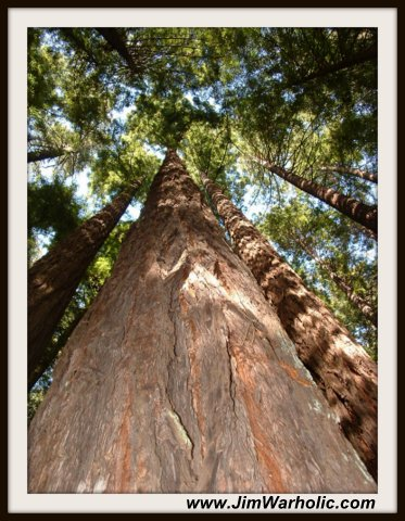 Big Redwood Tree